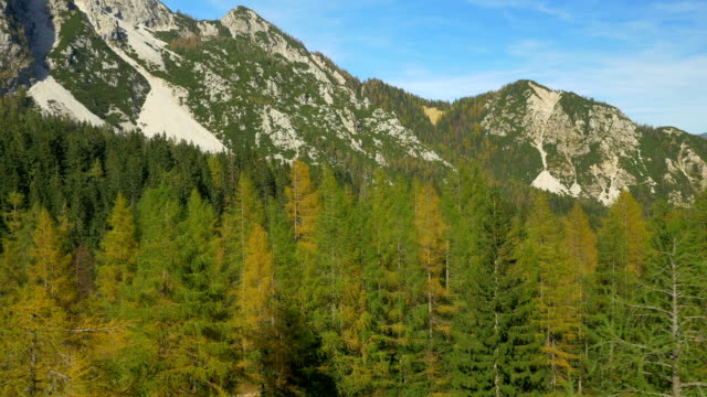 AERIAL: Flying around yellow larch tree in the mountains video