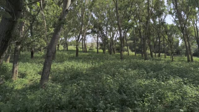 flying away from a river through elm trees -  aerial footage video