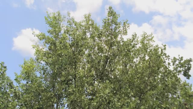 flying away from an elm tree - aerial footage video