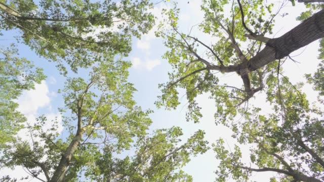 flying backwards below elm trees with camera facing up - aerial footage video