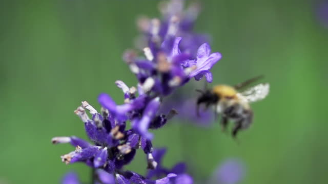 ZEITLUPE: Fliegende Biene – Video