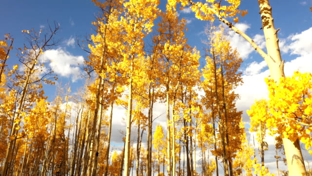 Flying Below Aspens and Blue Sky in Fall in Colorado