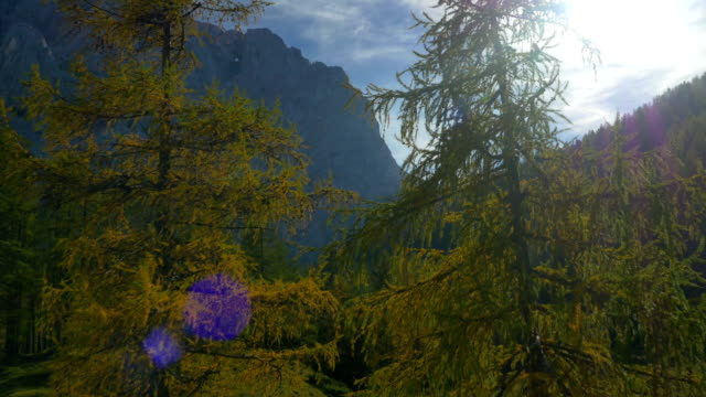 AERIAL: Flying between two colorful larches on mountaintop video