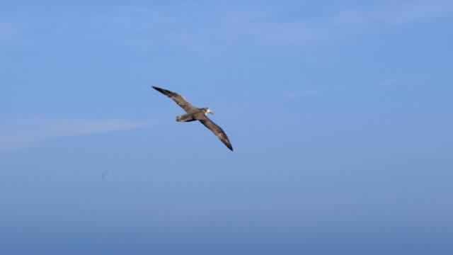 Flying black browed albatross