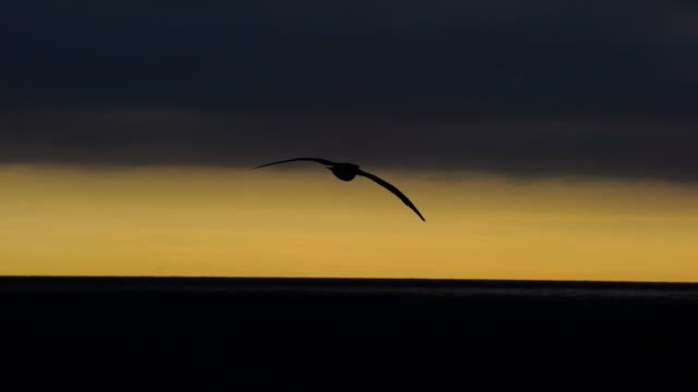 Flying black browed albatross