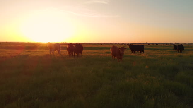 AERIAL: Flying close to cattle grazing in the vast green pasture at sunrise.