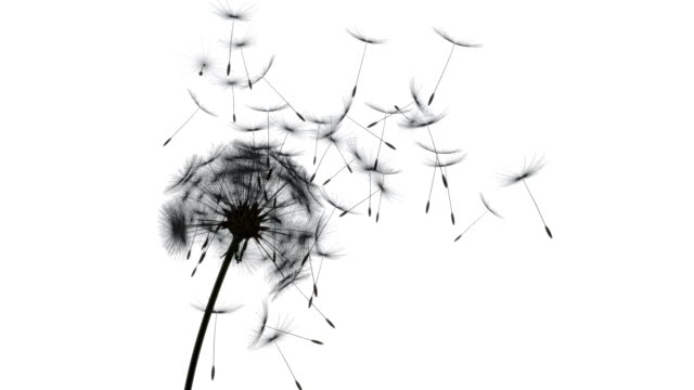 Flying Dandelions silhouette Silhouette shot of dandelion seeds blowing away by the wind dandelion stock videos & royalty-free footage