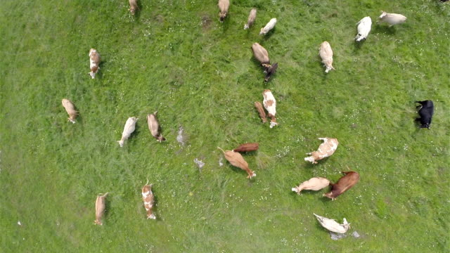 Flying directly over group of cows on lawn video