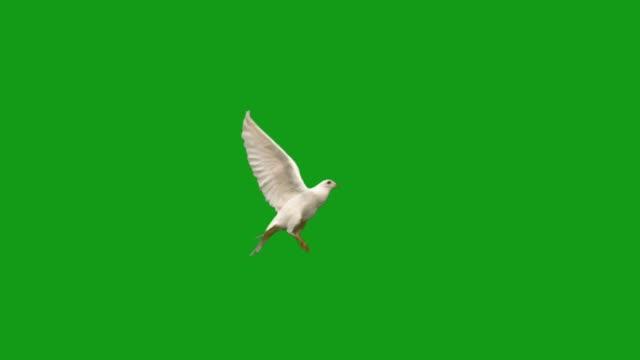 飛ぶ鳩の鳥グリーンスクリーンモーショングラフィックス - 鳥点の映像素材/bロール