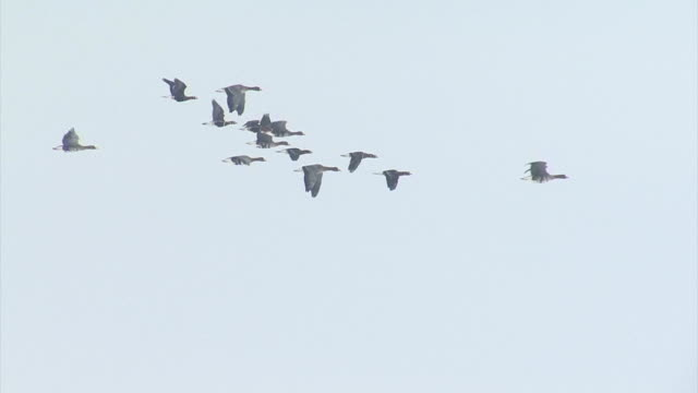 Flying flock of birds White-fronted Geese with sky background. video