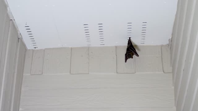 Flying fox hanging under roof of house Flying fox hanging down. Fruit bat, scary kalang or kalong looks under roof of house halloween covid stock videos & royalty-free footage