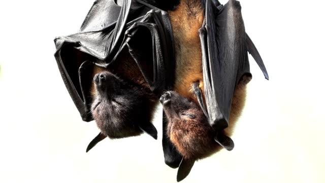 Flying foxes sleep upside down video