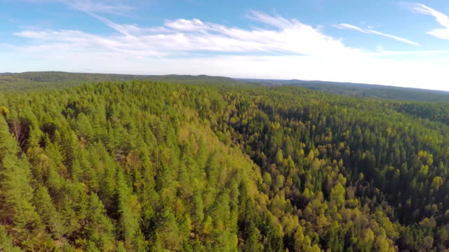 Flying high above large spruce tree forest video