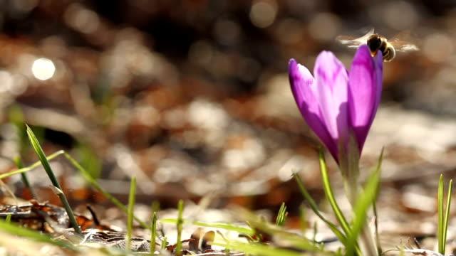 flying honey bee on crocus flower in spring - ape operaia video stock e b–roll