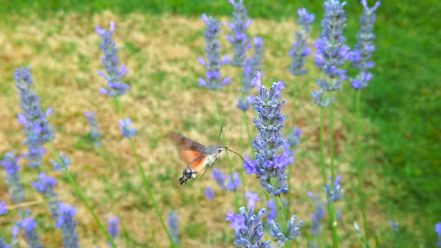 Flying hummingbird hawk-moth