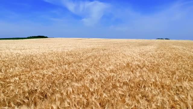 熟した麦畑上低空飛行 - 大麦点の映像素材/bロール