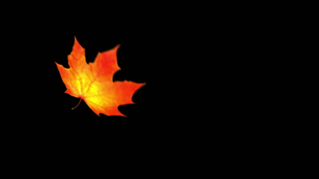 Flying Maple Leaf On Black Background With Alpha Channel. Seamless Looped.