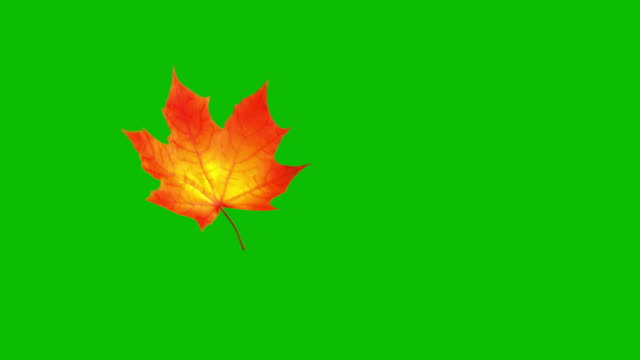 Flying Maple Leaf On Green Screen. Seamless Looped.