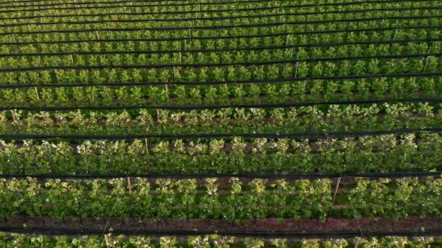 Flying over apple orchard - vídeo