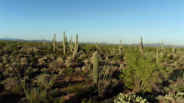 AERIAL: Flying over big cactus wilderness in sunny morning