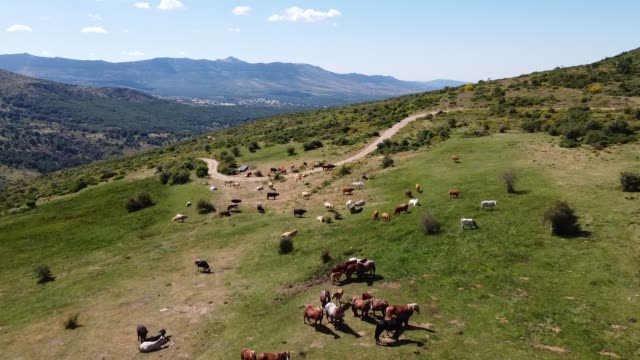 flying over cows and horses grazing in pasture with drone