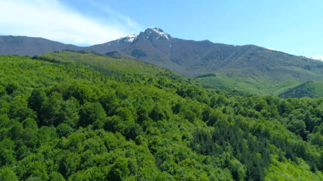 Flying over dense green forest under mountain with snowy peak