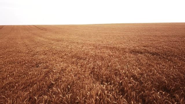 大麦のフィールド上空 - 大麦点の映像素材/bロール