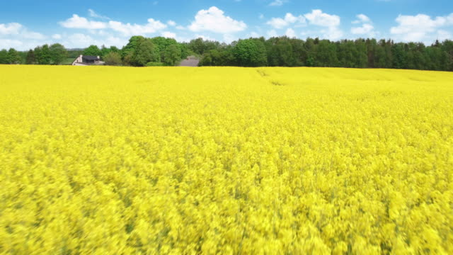 Flying over fields of rapeseed video