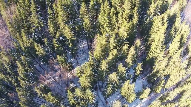 Flying over forest with mixture of coniferous and deciduous trees in the winter , aerial shot video
