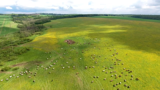 Flying over green field with grazing cows video