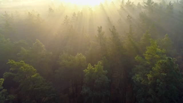 Flying over green trees forest at sunrise. Morning sun and fog. Aerial shot, 4K