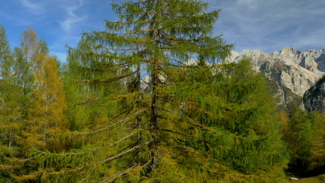 AERIAL: Flying over lush larch tree on a mountaintop video