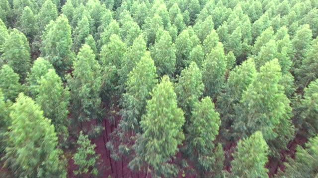 flygande över tallar - eucalyptus leaves bildbanksvideor och videomaterial från bakom kulisserna