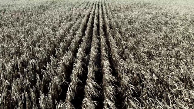 Flying over rows of drying corn in winter. Drone aerial shot of late autumn dying corn ready for harvest in cold weather. Rows of brown crops in farmer's fields. crop plant stock videos & royalty-free footage