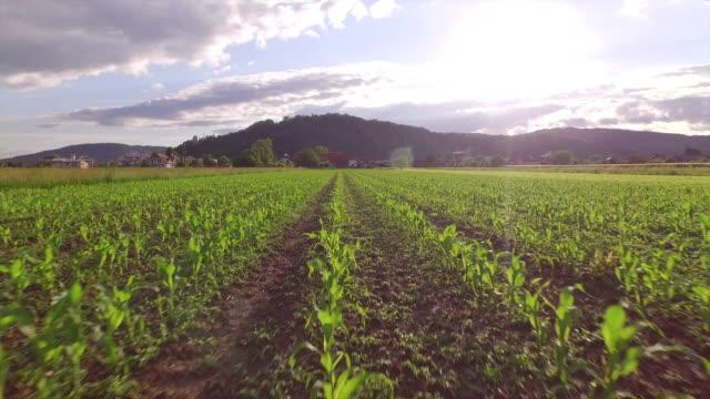 vidéos et rushes de vue aérienne: survolant rangées de maïs jeune sur big field - maïs culture