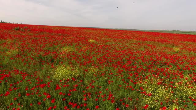 Flying Over Somnolent Poppy Field Under Grey Sky video