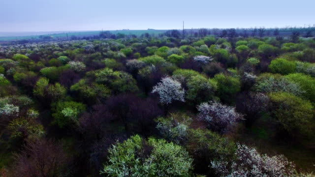 flying over the old orchard - albicocco video stock e b–roll
