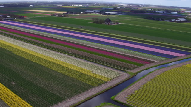 flying over tulips field video
