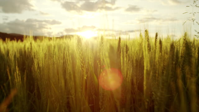 AERIAL: Flying over wheat field at sunrise video