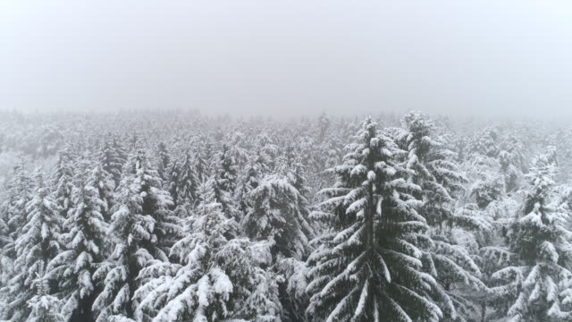 AERIAL Flying over white spruce forest covered in fresh snow on foggy winter day