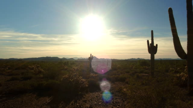 AERIAL: Flying pass big beautiful cactuses in desert at sunset video