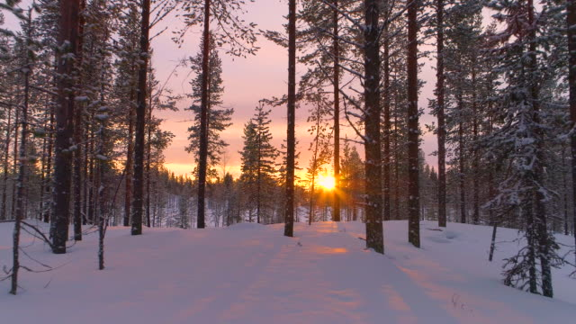 AERIAL CLOSE UP: Flying past snowy pine trees in winter forest at golden sunset video