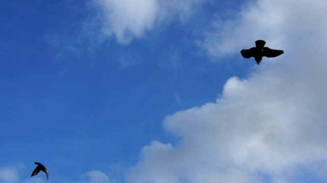 slo mo flying pigeon bird on blue sky - colombaccio video stock e b–roll