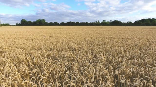 ゆっくりと非常に低く飛んで大麦収穫量 - 大麦点の映像素材/bロール