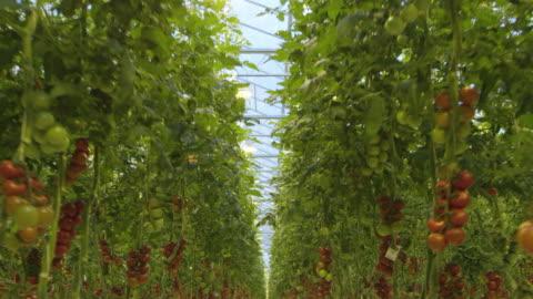 4k - volare attraverso una serra di pomodoro - agricoltura video stock e b–roll