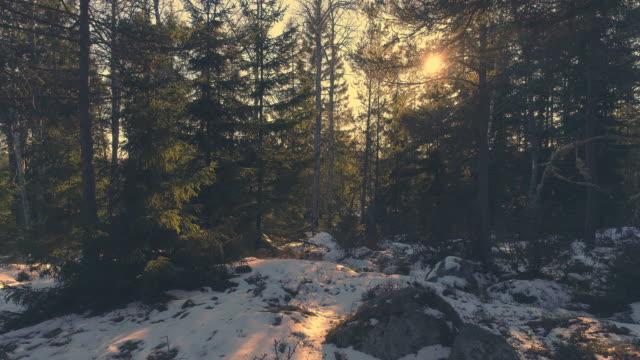 vidéos et rushes de voler à travers la forêt de hiver au coucher du soleil. circulation aérienne entre les épinettes - suede