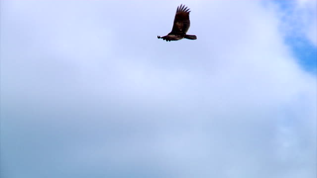 Flying Vulture A vulture gently glides through the sky. vulture stock videos & royalty-free footage