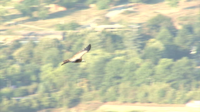 Flying Vultures over carcass in the mountain Flying Griffon Vultures (Gyps fulvus), birds of prey over carcass in the mountain, green blurred background new world vulture stock videos & royalty-free footage