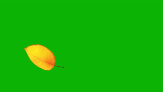 Flying Yellow Leaf On Green Screen. Seamless Looped.
