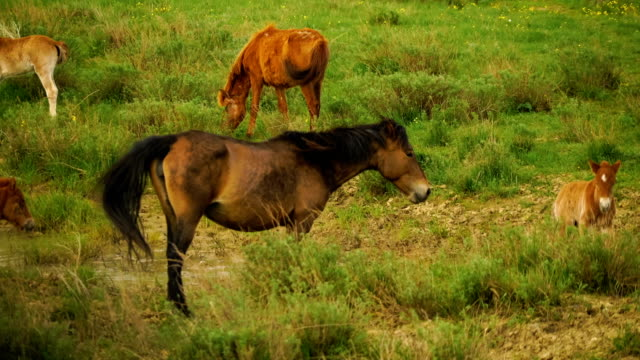 Foal and its mother in a sunny meadow. Horses and foal graze in a meadow. Foal and its mother in a sunny meadow. Horses and foal graze in a meadow. Green grass. Lake. Spring in the steppe. Torgay, Kazakhstan. kazakhstan stock videos & royalty-free footage